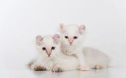 Mali i Młodzi Jaskrawi Biali Smutni amerykanina kędzioru koty Dobierają się obsiadanie na białym stole Biały tło Fotografia Stock