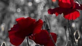 Mali, jaskrawi czerwień kwiaty, Malowniczy Majów kontrasty Osamotniony i niepowtarzalny poppy samotny zdjęcie wideo