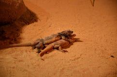 Mali jaszczury bawić się na piasku obraz royalty free