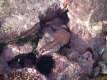 Mali jellyfish wśród skał Zdjęcie Royalty Free