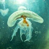 Mali jellyfish w wodzie Zdjęcia Royalty Free