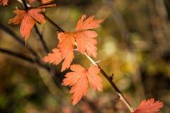 Mali jesień liście Fotografia Stock