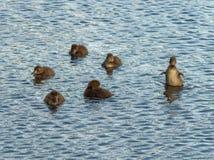 Mali kaczątka bawić się na wodzie obrazy stock
