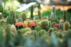 Mali kaktusy Fotografia Royalty Free
