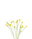 Mali kolor żółty kwiaty Obraz Royalty Free