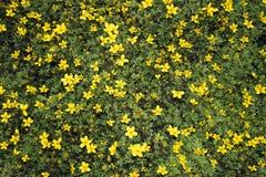 Mali kolor żółty kwiaty Zdjęcia Stock