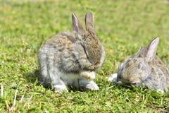 Mali króliki siedzi outdoors Zdjęcia Royalty Free