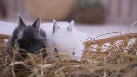 Mali króliki siedzi w kosz Wielkanocny świętowanie zbiory