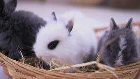 Mali króliki siedzi w kosz Wielkanocny świętowanie zdjęcie wideo