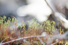 Mali krótkopędy świrzepy r z zielonego mech duży kropli zieleni liść makro- fotografii woda obrazy royalty free