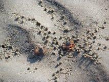 Mali kraby na piasek plaży ocean Zdjęcia Royalty Free