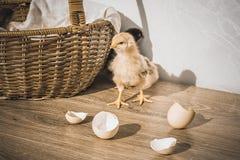 Mali kurczątka, eggshell i kosz na stole, rocznik fotografia stock