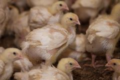 Mali kurczątka na kurczaka gospodarstwie rolnym Fotografia Royalty Free