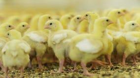 Mali kurczaki chodzą na inciubator podłoga z adra zdjęcie wideo