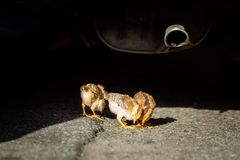 Mali kurczaki na uliczny dzikim mały i zdjęcie stock