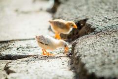 Mali kurczaki na uliczny dzikim mały i obraz stock