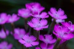 Mali kwiaty goździk zdjęcie royalty free