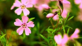 Mali kwiaty kwitnie floks menchie z zbiory