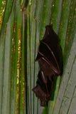 Mali latający lisy, Penang, Malezja Zdjęcie Royalty Free