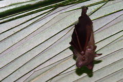 Mali latający lisy, Penang, Malezja Obrazy Royalty Free