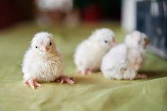 Mali, miękcy słodcy Wielkanocni kurczątka, Zdjęcie Stock