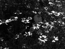 Mali piękni kwiaty śródpolne stokrotki Delikatni jaskrawi biali płatki Czarny I Bia?y stokrotka Czarni trawa liście w flowerbed obrazy stock