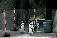 mali pingwiny zdjęcia stock