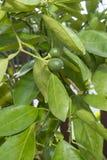 Mali pomarańcze pączki Obraz Royalty Free