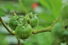 Mali pomidory po deszczu Fotografia Stock
