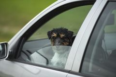 Mali psów spojrzenia z samochodowego okno - dźwigarki Russell terier fotografia stock