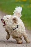 Mali psi przedstawienia jego zęby Zdjęcie Royalty Free