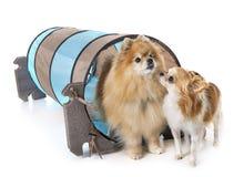 Mali psy i zwinność zdjęcie royalty free