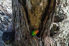 Mali ptaki Afryka - lovebird serengeti Tanzania Fotografia Royalty Free