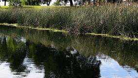Mali ptaki lata nad stawu lądowaniem na zielonych płochach i wodą zdjęcie wideo