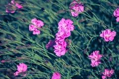 Mali różowi goździki jako tło (Dianthus) zdjęcia royalty free