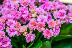 Mali różowi kwiaty kalanchoe roślina w makro- zbliżeniu, popularny dekoracyjny kwiat od Afryka, natury tło obraz royalty free