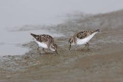 Mali Sandpipers Foraging na Mudflat, Teksas - Obraz Royalty Free