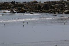 Mali shorebirds chodzi na plaży zdjęcia stock