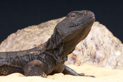 Mali spiny-tailed agama Stock Image