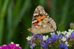 Mali tortoiseshell Aglais urticae motyli Fotografia Stock