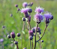 Mali wildflowers w stylu Provence tła Obraz Royalty Free