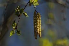Mali zieleń liście i kolczyki brzozy obraz royalty free