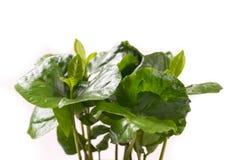 Mali zieleń liście od kawowej rośliny Obrazy Stock