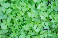 Mali zieleni liście, gęsto upakowani dla tapety obrazy royalty free