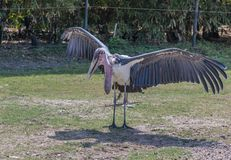 Malibu stork is sun bathing. In a zoo of Bangkok, Thailand Royalty Free Stock Photography