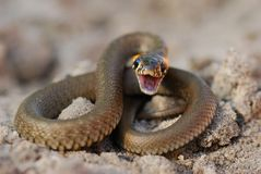 The malicious snake. Angered, it is ready to an attack Royalty Free Stock Image
