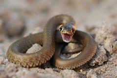 The malicious snake Royalty Free Stock Image