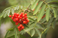 Malinae. Berries close up on late summer Stock Image