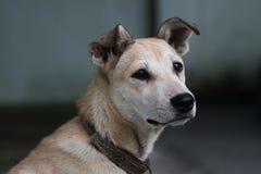 Malinconia di un cane Fotografie Stock Libere da Diritti