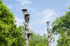 Malines, Belgio - 17 maggio 2016: Nidi della cicogna sugli alberi nello zoo di Planckendael Fotografie Stock
